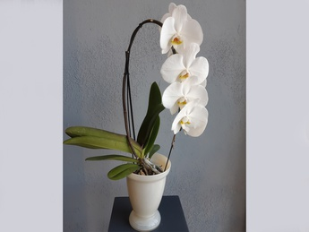 Orchid in a glass pot