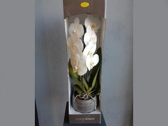 Орхидея Formidable  в керамическом горшке
