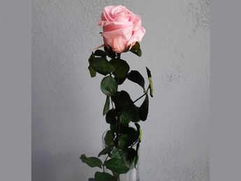 Pink cryogenic rose small flowers