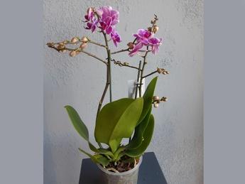 Орхидея Colibri