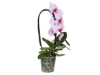 Розовые Oрхидеи