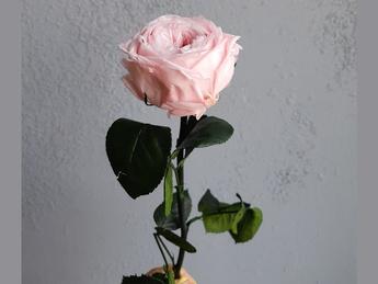 Cryogenic rose big flower
